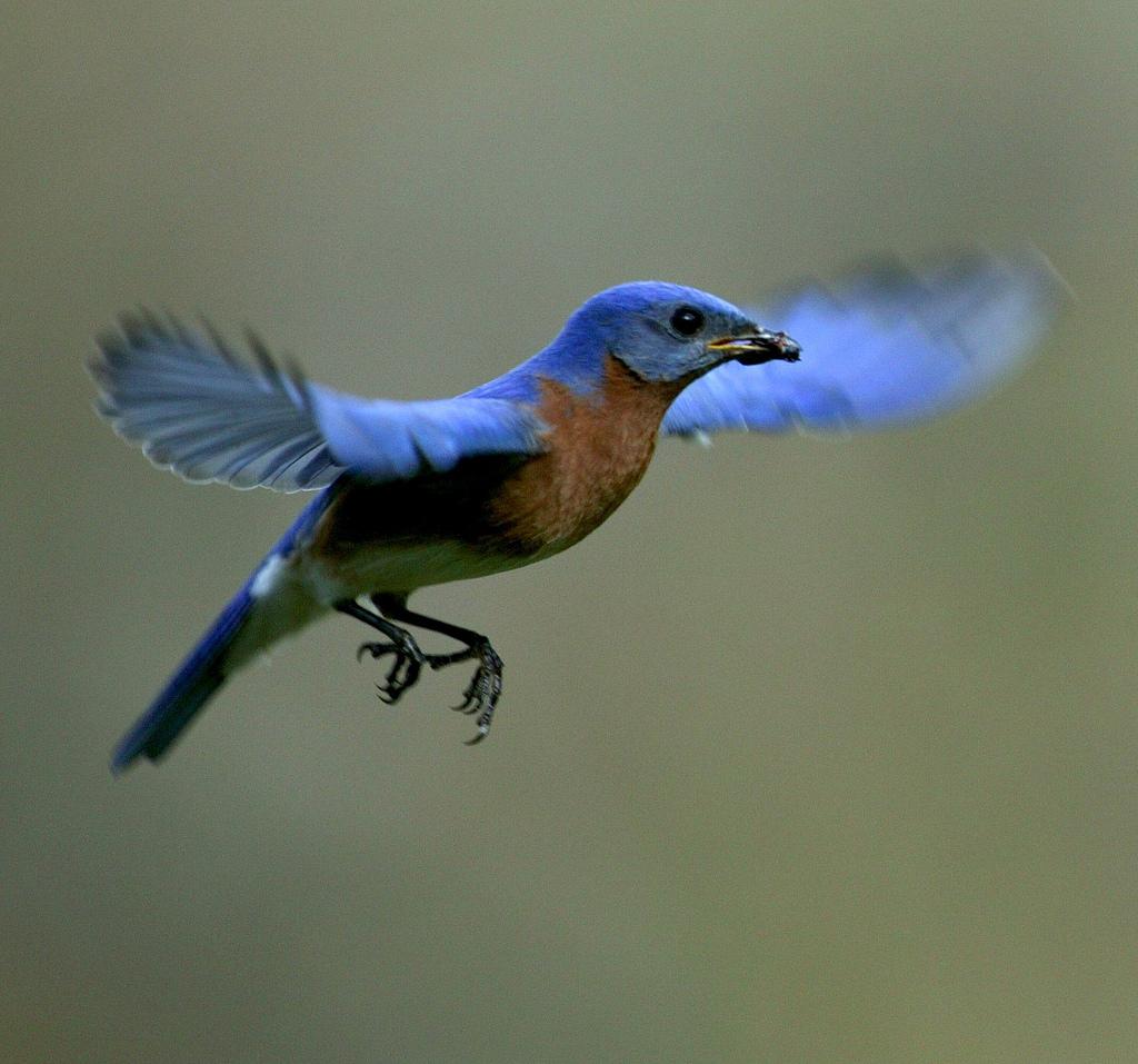 Eastern bluebird in flight - photo#17