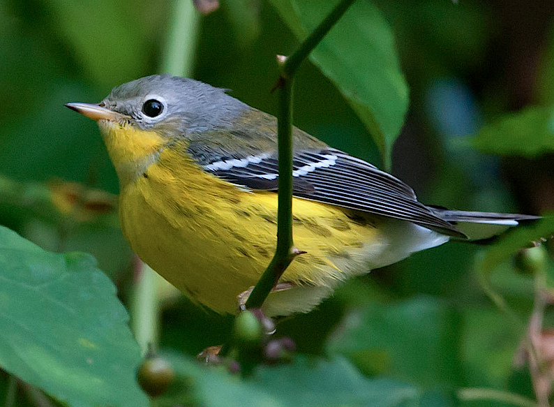 magnolia warbler fall - photo #7