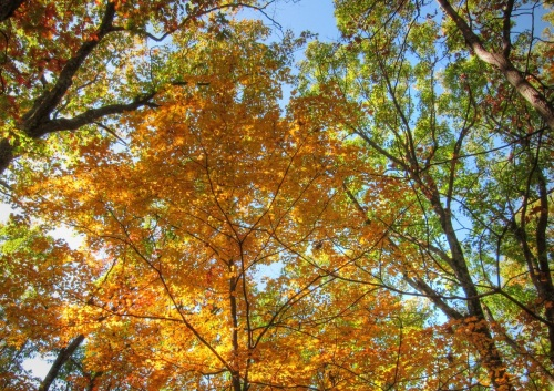 Our Beautiful Maple Trees In Northwest Arkansas Life And