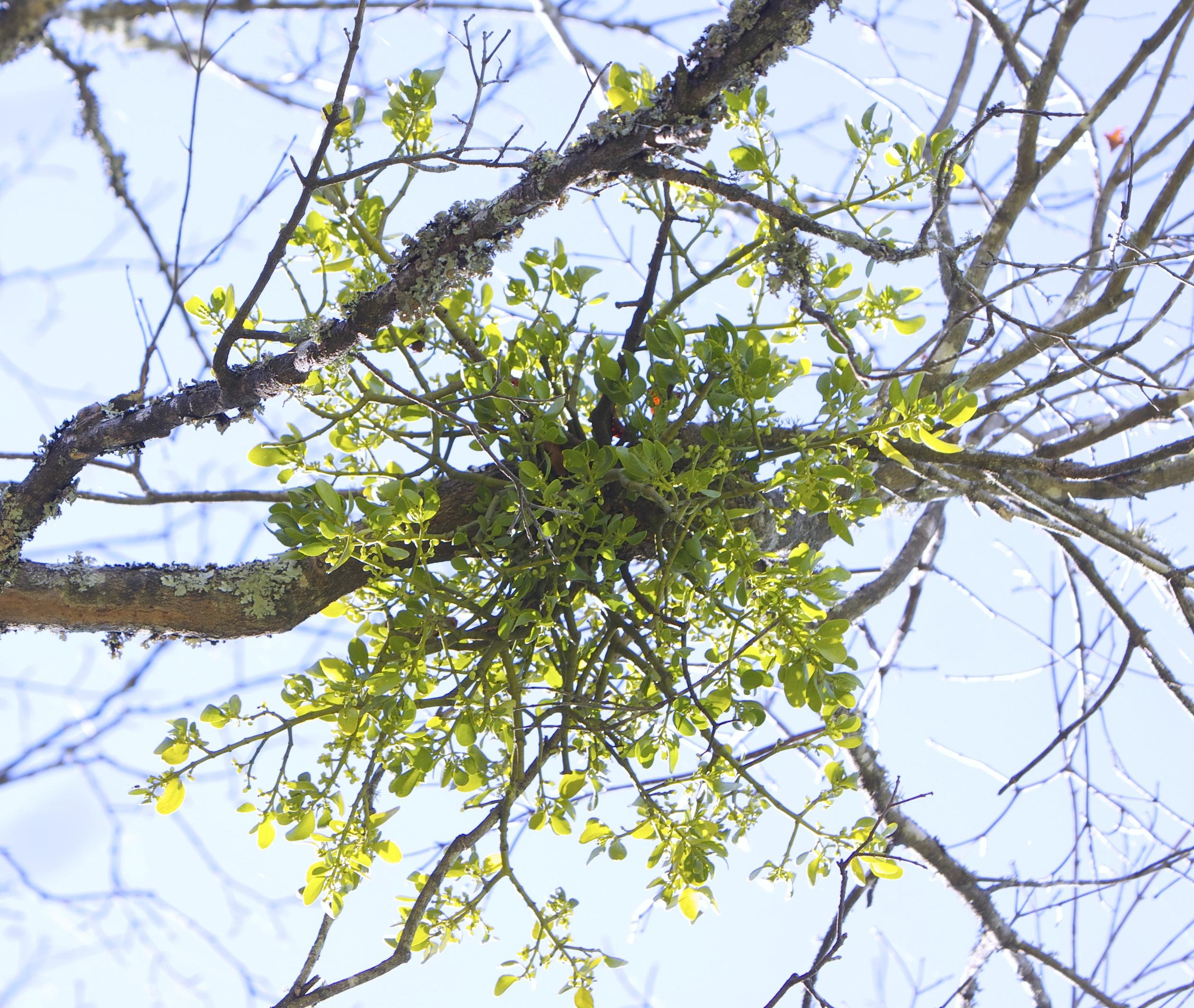 Mistletoe Plant Near Parthenon And Boxley Arkansas Boston