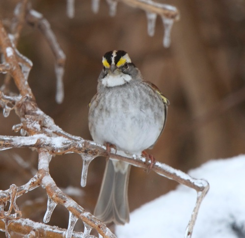 White Throated sparrow last January