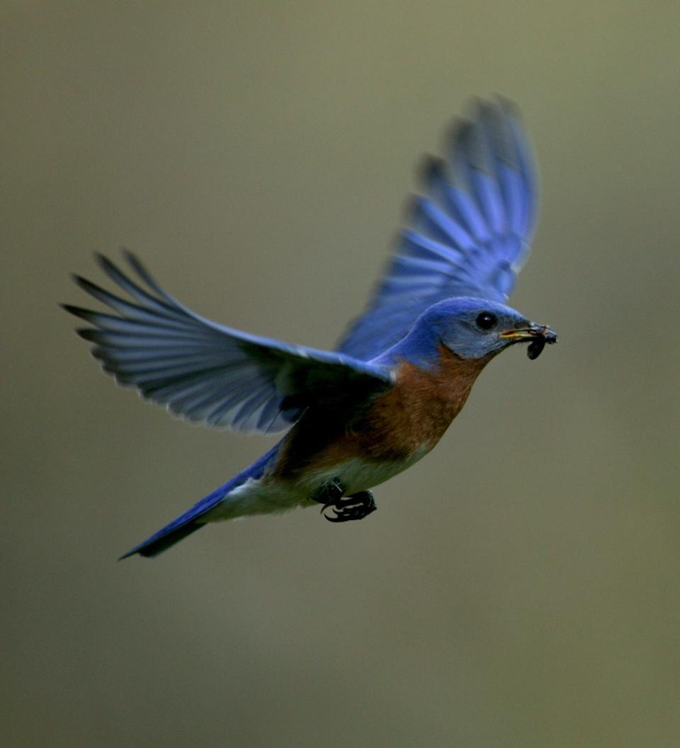 Eastern bluebird in flight - photo#1