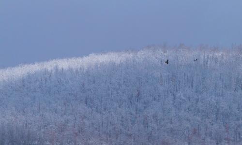 back home; 2 red shouldered hawks