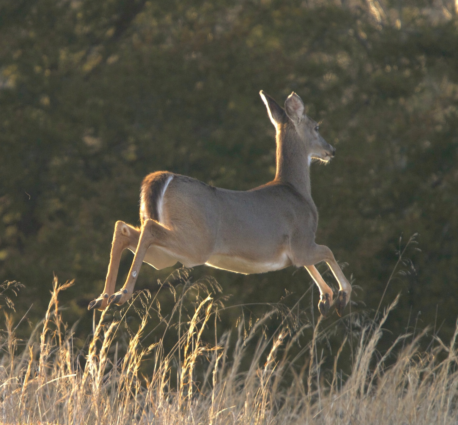 whitetail deer leaping last evening