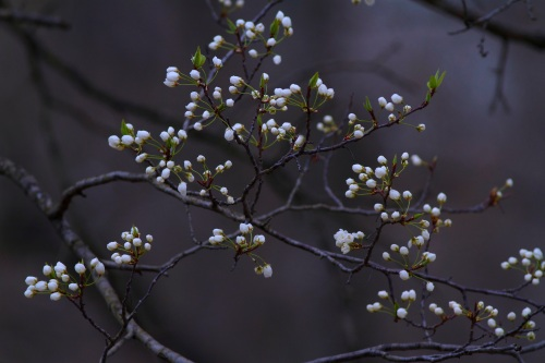 serviceberry (popcorn trees)