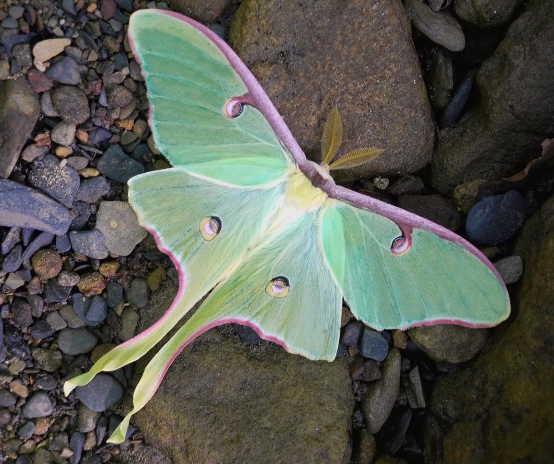 luna moth under a window