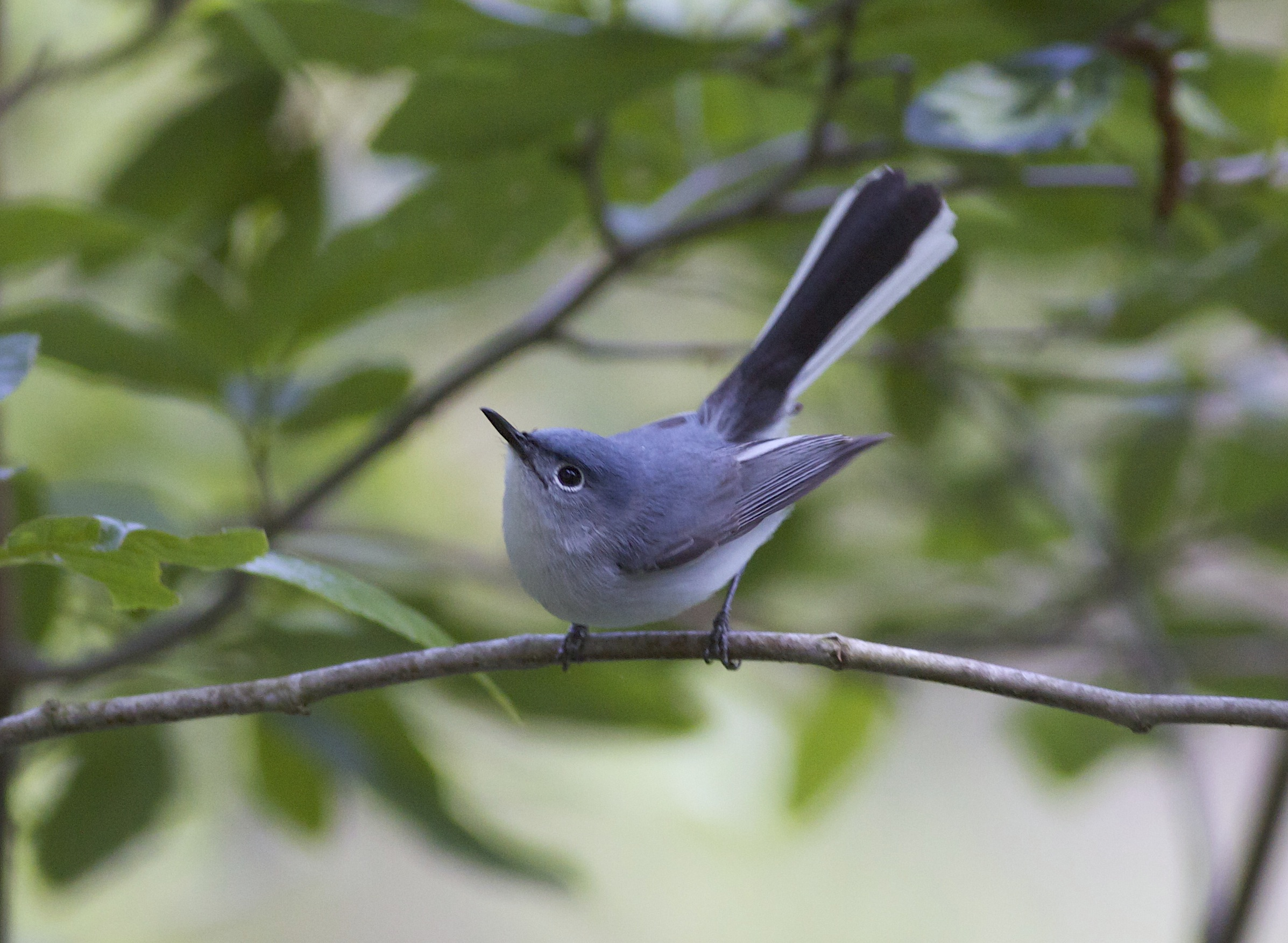 blue gray gnatcatcher | Life and Wildlife along the Little ...