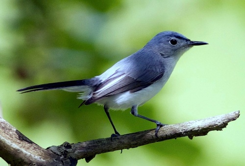 Blue Gray Gnatcatcher watching me