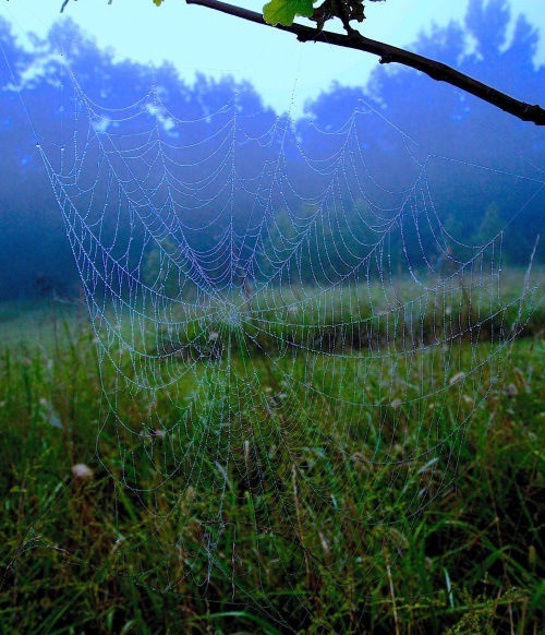 Orb spider and dew