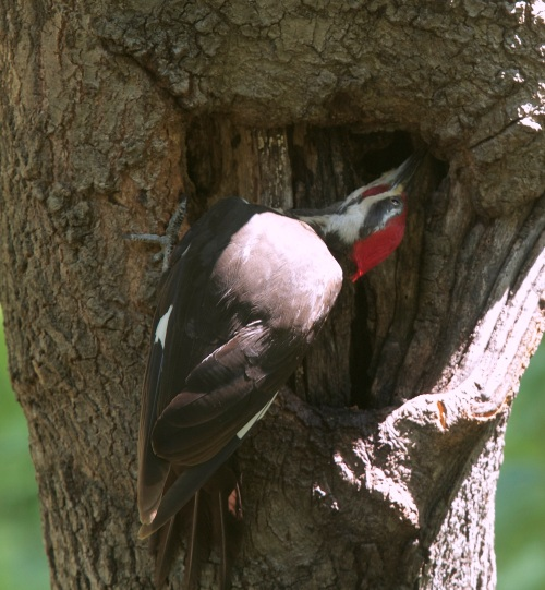 Female Pileated Woodpecker - 9/17