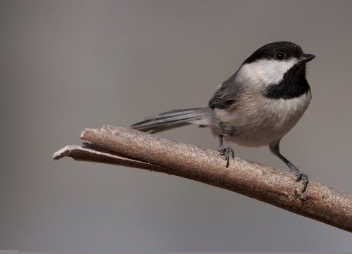 One of my alarms - a Carolina Chickadee
