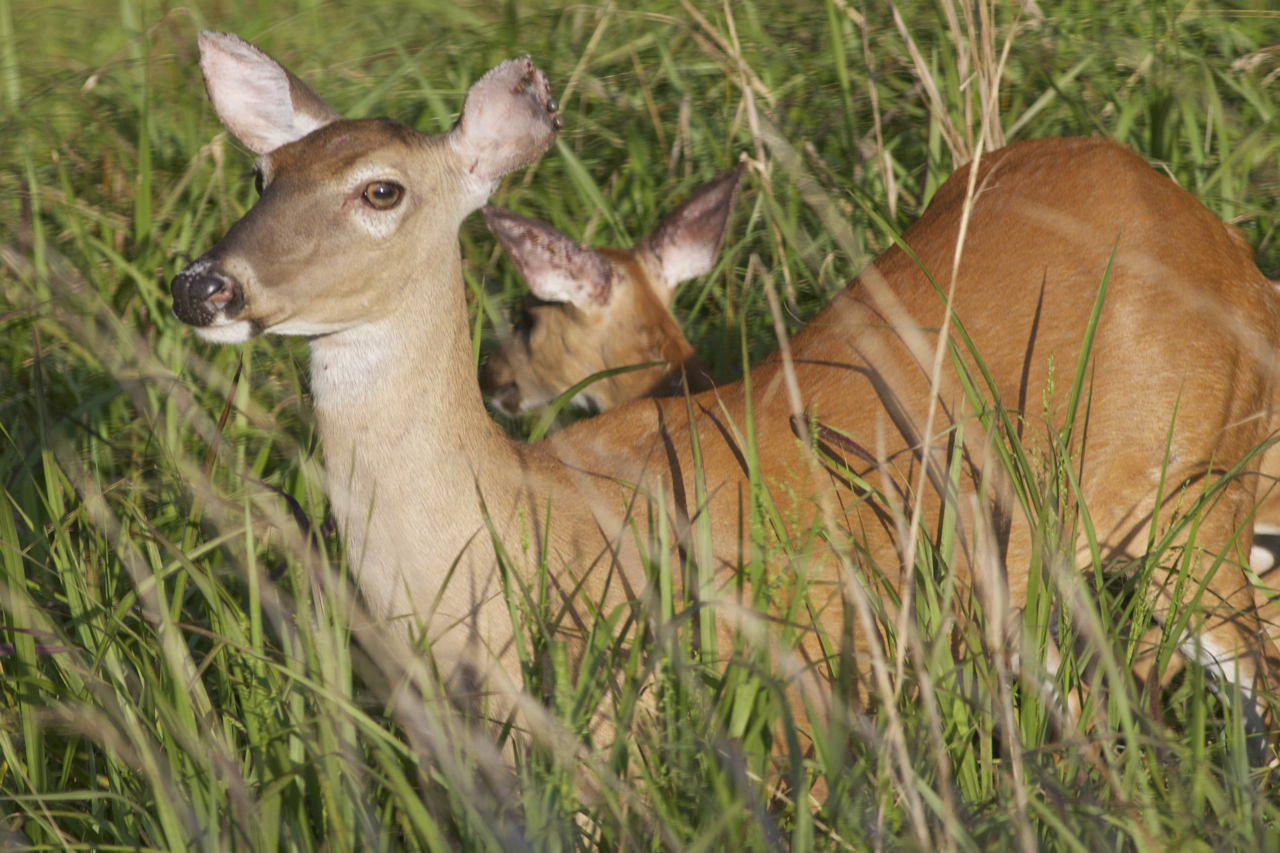 Fawn Life And Wildlife Along The Little Buffalo River