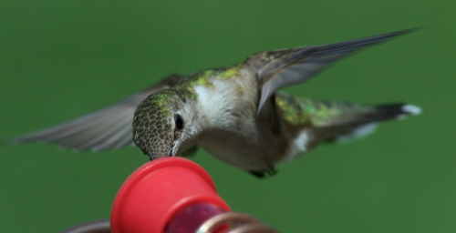 Hand feeding Ruby Throat Hummingbirds