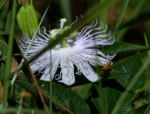 native Passion Flower (HOST) for Gulf Fritillary