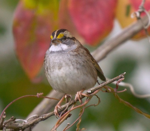 White Throated Sparrow in a Dogwood
