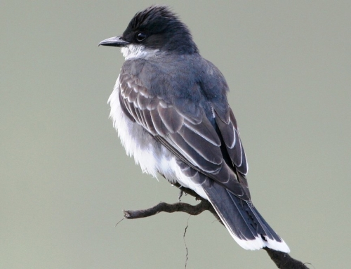 eastern kingbird in migration