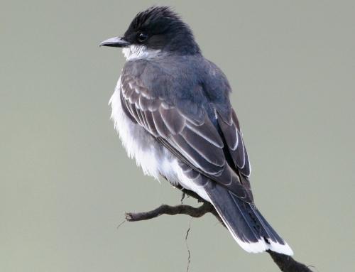 eastern kingbird in migration