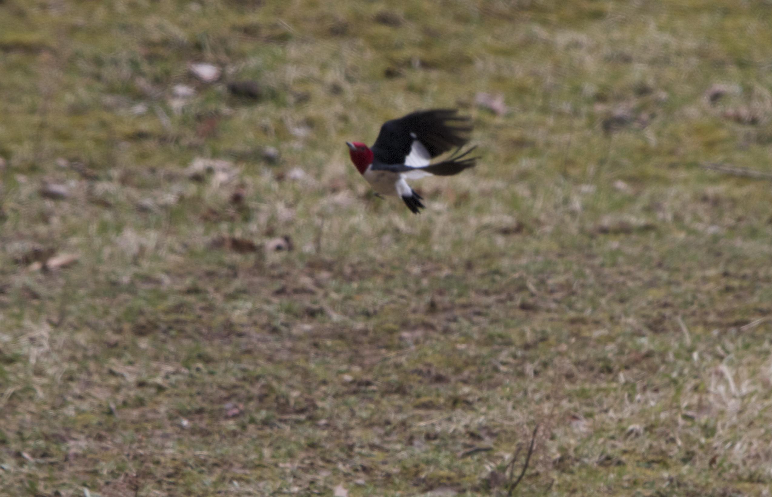 Julie Zickefoose en Blogspot: Woodpecker de cabeza roja. En nuestro alimentador. ¡No realmente!