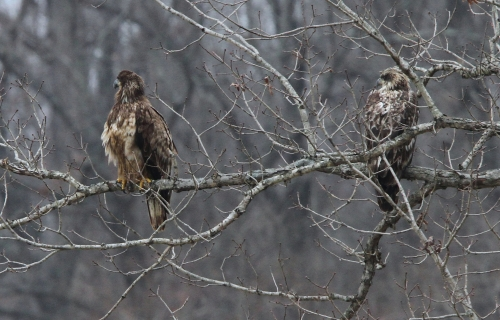 Immature Bald Eagles 3/31/15