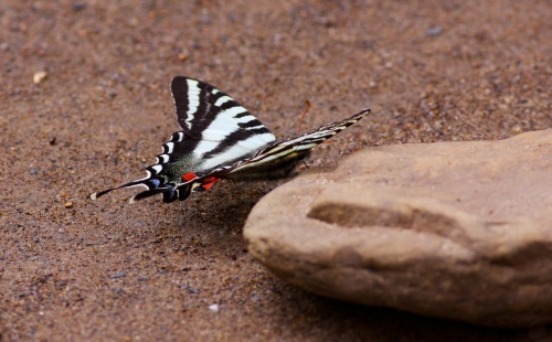 Zebra Swallowtail 3/31/15
