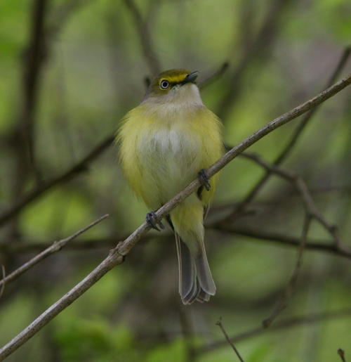 male White Eyed Vireo