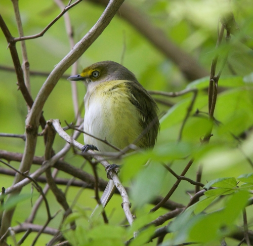 Female White Eyed Vireo